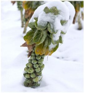 How To Grow Brussels Sprouts for Winter Harvest: Winter Care For Brussels Sprouts