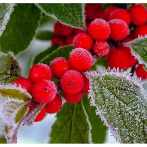 HOW TO GROW AND CARE FOR WINTERBERRY HOLLY