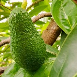 HOW TO PLANT, GROW, AND HARVEST AVOCADOS (2)