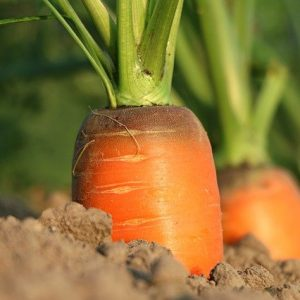 HOW TO PLANT, GROW, AND HARVEST CARROTS