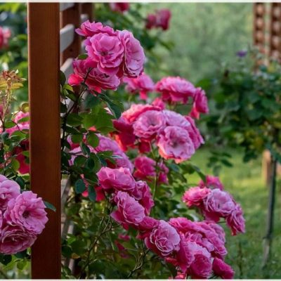 HOW TO WINTERIZE ROSES   10 ULTIMATE STEPS