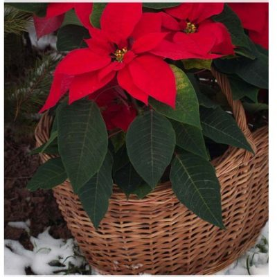 POINSETTIA COLD TOLERANCE - HOW COLD HARDY ARE POINSETTIA PLANTS - POINSETTIA GROWNING ZONE