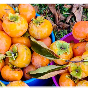 WHEN AND HOW TO HARVEST PERSIMMONS